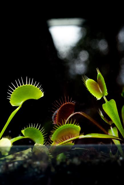 Dionaea m. 'King Henry', Dionaea muscipula 'King Henry', Dionaea muscipula 'Green Dragon', Dionaea muscipula, Green Dragon, King Henry