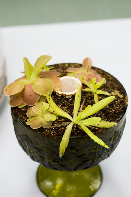 San Diego Carnivorous Plant Society Show and Sale