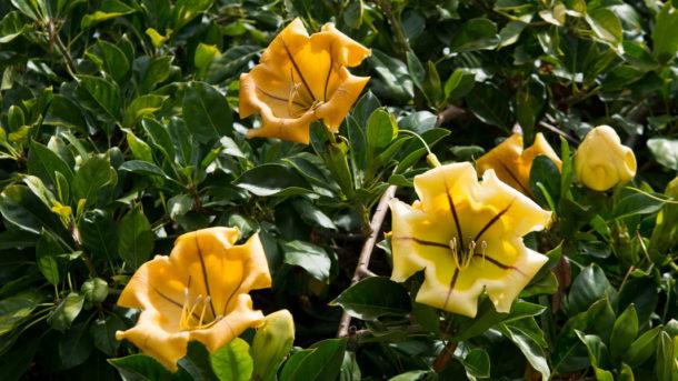 Solandra maxima (cup of gold vine)