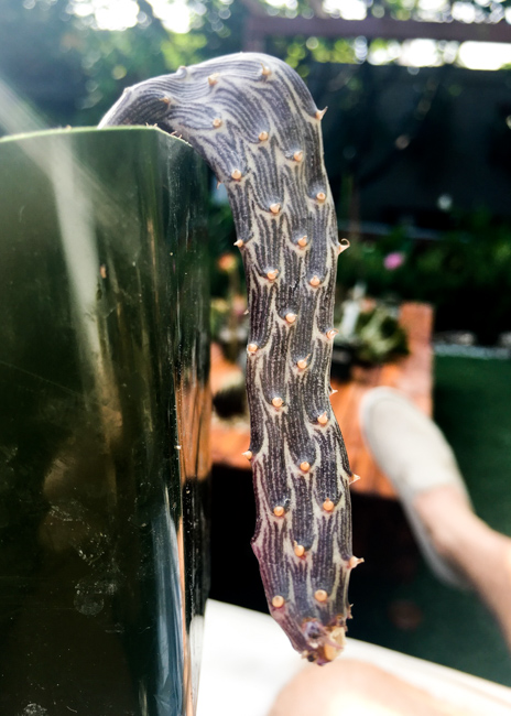 Senecio pendulus. Yemen and Saudi Arabia, www.succulents.us