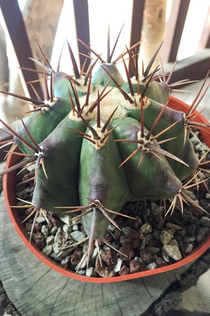 Echinocactus platyacanthus (central Mexico). C/T Parr Plants.